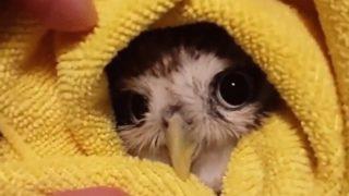 【海外の反応】「幸運の色にくるまれた幸運の鳥」可愛いフクロウのご利益動画