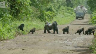 【海外の反応】家族を守るために道路を封鎖するゴリラパパ
