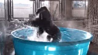 【海外の反応】ダラス動物園のゴリラ「禁断のお風呂場ダンシング・エクスタシー」