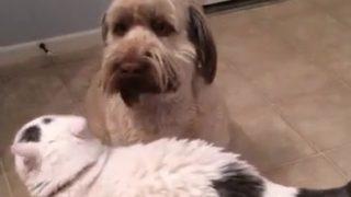 【海外の反応】またしても猫に「理不尽なパンチ」をお見舞いされた犬の反応
