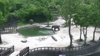 【海外の反応】動物園のプールでおぼれた小象を救出する2頭の象