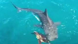 【海外の反応】サメに襲われたウミガメの「唯一の戦術」