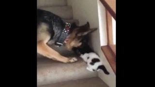 【海外の反応】「優しいお節介」新入り子猫と先輩ジャーマンシェパード