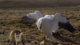 【海外の反応】北極圏のかわいい動物たちが繰り広げる弱肉強食のドラマ