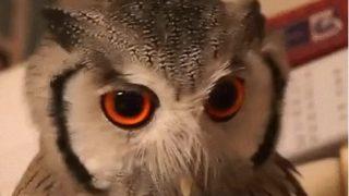 【海外の反応】顔の印象や体のサイズを変えられるフクロウ