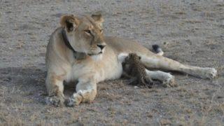 【海外の反応】『史上初』ヒョウの子供を育てるライオン