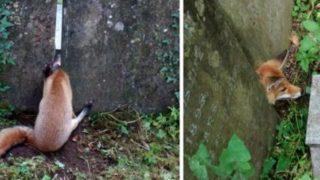 【海外の反応】墓石に挟まれて動けなくなっていたキツネ、無事に救出される!