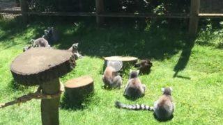 【海外の反応】キツネザルの群れにたった一羽で戦いを挑んだ鳥が守ろうとしたもの