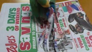 【海外の反応】新聞の折り込み広告で巣作り用の材料を準備するラブバード