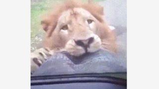 【海外の反応】サファリパークのライオン、スペアタイヤに噛みつく