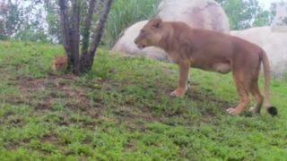 【海外の反応】丘から転がり落ちるのが好きな子どもライオン