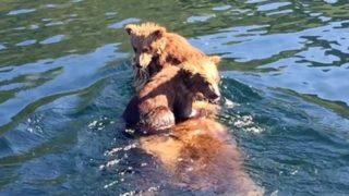 【海外の反応】子グマ2匹を背中に乗せたまま、泳いで湖を渡る母グマ