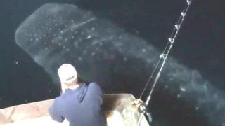 【海外の反応】釣り船の下を『まるで巨大なコイのように』泳ぐジンベエザメ