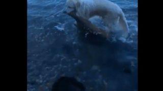 【海外の反応】ゴールデンレトリバー、溺れる小鹿を救う