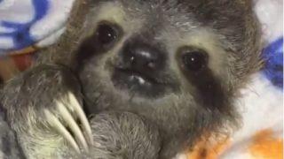 【海外の反応】「想像を超えるかわいらしさ」ナマケモノの赤ちゃん・ドリー