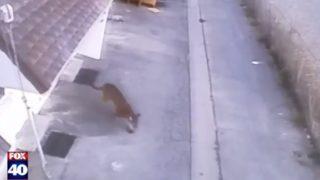 【海外の反応】市街地に迷い込んだ猛獣・ピューマ、寝ていた女性の上に飛び乗る