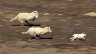 【海外の反応】狩りの前に一家そろって遠吠えするホッキョクオオカミ