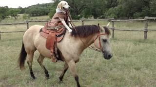 【海外の反応】カウボーイスタイルで乗馬するラブラドールレトリバー