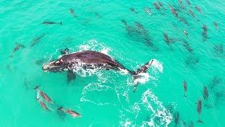 【海外の反応】波乗りが得意な数十頭のイルカの群れに囲まれるセミクジラ