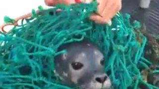 【海外の反応】四代目ロブスター漁師、アザラシの子供を助ける