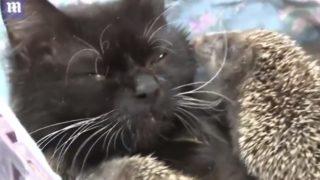 【海外の反応】猫のムーシャ、母親を失くした8匹の赤ちゃんハリネズミを救う