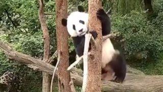 【海外の反応】木に登るよりも、木から落ちることが好きな赤ちゃんパンダ