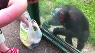 【海外の反応】賢いチンパンジー、「飲み物をガラス窓ごしに飲む方法」を発見