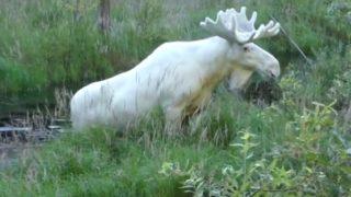 【海外の反応】初めてビデオ撮影されたスウェーデンの白いヘラジカ