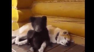 【海外の反応】クマと秋田犬・宿命の敵同士がお昼寝対決!?