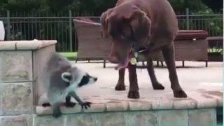 【海外の反応】プールで泳ぐ犬の背中に乗るアライグマ