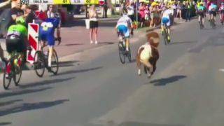 【海外の反応】名もなきポニー、ヨーロッパ伝統の自転車レースに飛び入り参加する