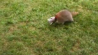 【海外の反応】ピーナッツバターの瓶から頭が抜けなくなったアライグマ、無事に救出される