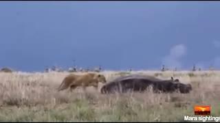【海外の反応】巨大なカバを襲おうとした?無謀すぎるメスライオン