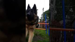 【海外の反応】まるで犬のショートコント!題して「ダコタとハドソンの緊急出動」
