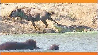 【海外の反応】ワニに襲われ絶体絶命のヌー、カバに救われる