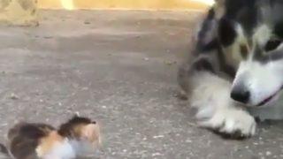 【海外の反応】小さいけど勇ましい子猫、大型犬をたじろがせる