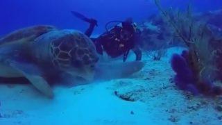 【海外の反応】カリブ海で撮影された「巨大アオウミガメ」