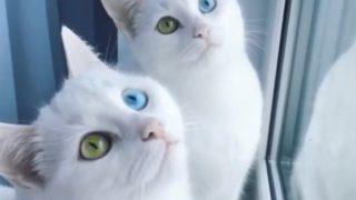 【海外の反応】世界的人気を誇る、美しくて珍しい特徴を持つ双子の猫