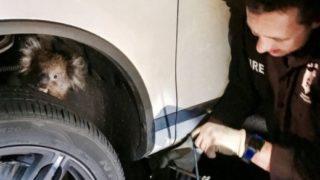 【海外の反応】コアラ、車にしがみついて16キロ移動したところで保護される