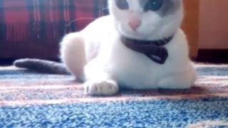 【海外の反応】攻撃前にパワーを充填する猫