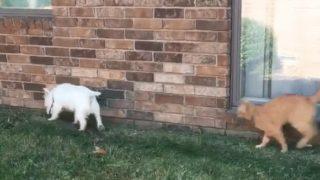【海外の反応】老犬をからかう、けしからん猫