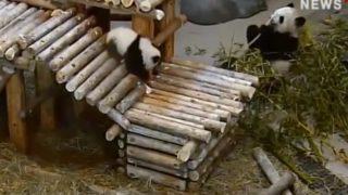 【海外の反応】「落下するジャイアントパンダ」カナダ・トロント動物園公式動画