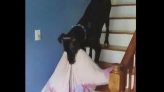 【海外の反応】「背が高くて馬みたいな犬」リビングでの過ごし方