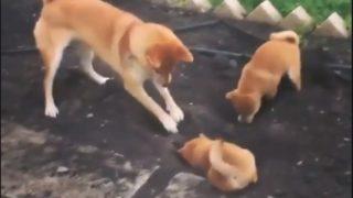 【海外の反応】「ほら、子供たち!よく見てなさい!!」柴犬ファミリーの穴掘り教室
