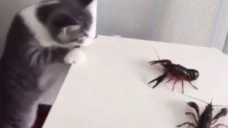 【海外の反応】家族みんなで安心して楽しめる、厳選「ネコ対ザリガニ動画」