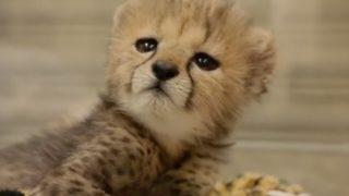 【海外の反応】「動かない友だち」とたわむれる姿が物悲しい、ひとりぼっちのチーターの子供