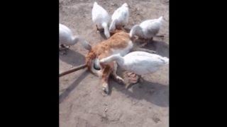 【海外の反応】アヒル軍団に体中をついばまれるワンコ