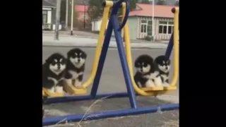 【海外の反応】「今日の予定が台無しになるくらい可愛いい!」ブランコに乗る4匹の子犬