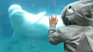 """【海外の反応】ベルーガ(シロイルカ)に襲い掛かるサメの""""ニセモノ""""、あえなく撃退される"""