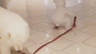 【海外の反応】「小ぶりな2匹のシロクマ??」サモエドと小さな飼い主さん